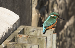 Kingfisher (jonathancoombes) Tags: kingfisher huter fish water blue nature wildlife explore