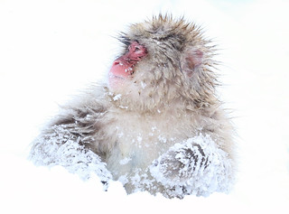 Snow Monkey Macaque japonais