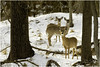 three does (Christian Hunold) Tags: whitetaileddeer whitetaileddoe whitetail weiswedelhirsch valleyforge pennsylvania christianhunold