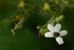 Coleoptera (robertoguerra10) Tags: urtiga cnidoscolus urens coleoptera cansanção