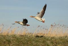 The catch of the day (mennomenno.) Tags: ganzen geese langsderotte vogels birds winter