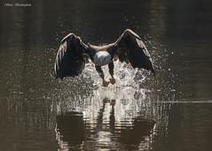 Bang! (sbuckinghamnj) Tags: eagle baldeagle americanbaldeagle raptor bird newyork