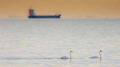 Whooper Swans, Dragør, Denmark (Nepo Goldman-Piculell) Tags: whooperswan swan water sunset light tanker boat ship denmark scenic