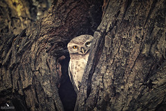 Spotted Owlet (pbmultimedia5) Tags: spotted owlet owl keoladeo national park bharatpur rajasthan india nature wildlife tree marsh pbmultimedia
