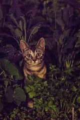 I am watching you. (long_chan05) Tags: nature wild yuenlong hongkong hk animals cat