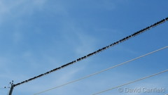 March 7, 2018 - Birds on a wire. (David Canfield)