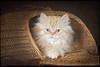 Packed to go... (laagwater) Tags: sonya7 sony85mmf28sam selkirkrex kitten 13weeksold kat cat