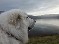 (photochoup) Tags: patou chien des montagnes pyrénées