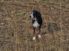P3043124 (fab2007) Tags: joep grotezwitser greaterswissmountaindog grotezwitsersesennenhond hond outdoor broekpolder natuur natur koud polder ice vlaardingen
