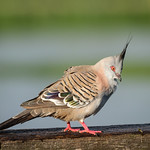 Crested Pigeon thumbnail