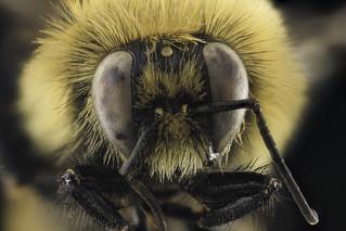 Bombus rufocinctus, M, face, Park Co., Wyoming_2014-01-16-15.10