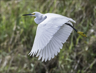Snowy Egret ( Fly-By )