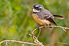 Grey Fantail (Rodger1943) Tags: australianbirds fantails wagtails greyfantail fz1000