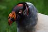King vulture @ Ouwehands Dierenpark 29-04-2017 (Maxime de Boer) Tags: king vulture koningsgier gier vogel bird ouwehands dierenpark ouwehand zoo rhenen animals dieren dierentuin gods creation schepping creator schepper genesis