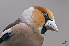 Coccothraustes coccothraustes (nonnogrizzly) Tags: coccothraustescoccothraustes frosone uccelli aves birds natura fauna albero bosco neve inverno
