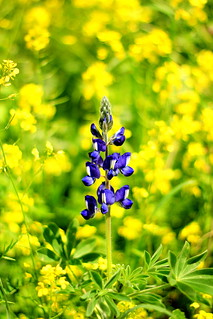 Another lupine