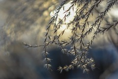 Sunshine. (agnieszka.a.morawska) Tags: bkhq beyondbokeh bokehlicious bokeh light helios44 helois44m helios miscanthus march winter sunshine sun