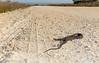 Florida banded water snake - Okeechobee County Florida (superpugger) Tags: snake watersnake watersnakes snakes wildlife reptile reptiles colubrids canonpowershot canon powershot g1x canonpowershotg1xmarkii floridabandedwatersnake herptile herping herptiles