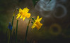 Daffodils (Dhina A) Tags: sony a7rii ilce7rm2 a7r2 minolta rf rokkorx 250mm f56 mirror reflex minolta250mmf56 md prime rokkor bokeh daffodils spring flower