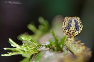 Rough-scaled Bush Viper