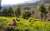 Tea Pickers at the High Field Tea Estate in Coonoor (amanda & allan) Tags: coonoor nilgirihills teaplantation teaplantations teaestate tamilnadu india highfieldteafactory teafactory teapickers highfield