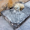 amber fort dog (kexi) Tags: jaipur rajasthan india asia amberfort stone square dog animal canon february 2017 instantfave autoremovedfrom1to5faves
