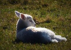 Enjoying the sun..x (Lisa@Lethen) Tags: lamb sunshine grass field animal spring weather sun fluffy