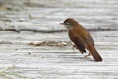 DSC_5442_DxO_pn - Bouscarle de Cetti Cettia cetti - Cetti's Warbler (Berzou) Tags: bouscarledecetti cettiacetti cettiswarbler oiseau bird nature fantasticnature naturebynikon nikond7200 tamron150600 pontdegau