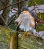 Sparrow Hawk (Margaret S.S) Tags: male sparrow hawk raptor bird