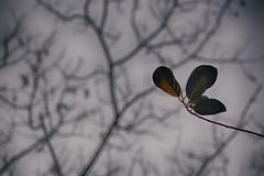 Last leaf (Azmarina Tanzir) Tags: winter spring leaf tree season living sky