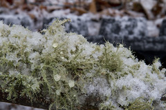 Beard Lichen Slushy (brucetopher) Tags: beard lichen green olive mint mossy moss wood forest branch tree bark 7dwf earth earthy floor woods winter cold snow snowy slush slushy ice icy frozen frost frosty grow flora life