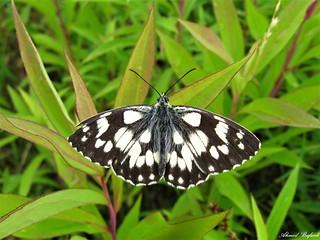 Butterfly 1629