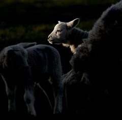 Spring Lambs, Brigham, Cumbria, UK (24/3/18)