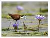 African Jacana (Crested Aperture Photography) Tags: africanjacana aves birds birdsofuganda vögel nature mabambaswamp lakevictoria eastafrica greatlakes
