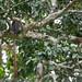 Red-tailed moustached monkey (Cercopithecus cephus ssp. cephus), Lobéké National Park, Cameroon