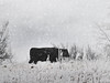 whiteout (boriches) Tags: cow snowstorm