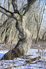 Bristol Woods Trail Tree (ironman5) Tags: trailtree bristolwoodscountypark redtrail pringlenaturecenter winter wintermorning