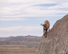 Bighorn Sheep, Badlands National Park 10/11/17 #badlandsnps #southdakota #wildlife (Sharon Mollerus) Tags: interior southdakota unitedstates us cfptig18