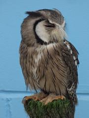 The Jamie Hyneman Owl (Steve Taylor (Photography)) Tags: jamiehyneman sourthenwhitefacedowl owl moustache ptilopsisgranti bird blue brown green black cool uk gb england greatbritain unitedkingdom london