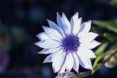 Margherita africana (kyry2010) Tags: margherita africana fiore flores fleur flora floreal blume color bianco white