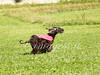 CoursingVillaverla2016w-041 (Jessica Sola - Overlook) Tags: dogs sighthounds afghanhounds greyhounds saluki barzoi italiangreyhounds irishwolfhounds lurecoursing lure race run dograces field greengrass