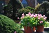 Pink tulips at Filoli Gardens (rootcrop54) Tags: filoli garden gardens nearsanfrancisco vivid bright pink tulips topiary hedges topiaries early20thcentury spring march 2018 vacation