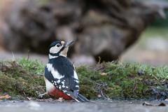 DSC04010 Grote Bonte Specht, Great Spotted Woodpecker, Dendrocopos major. (jwsteffelaar) Tags: dendrocoposmajor greatspottedwoodpecker grotebontespecht taxonomy:binomial=dendrocoposmajor