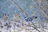 Pigeon in a sunny snow storm (Paul Wrights Reserved) Tags: pigeon snow snowing shower snowshower sunny sun sprong springtime bokeh bokehballs bird birding birds birdphotography birdwatching bud buds budding blossom blossoming blooming bloom sprout sprouting
