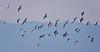 Vol en escadrille compacte (Diegojack) Tags: echandens vaud suisse campagne vol oiseaux mouettes d7200