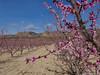 Frutales en flor. (Lourdes Olmos. lolmost) Tags: melocotones murcia campos flores colores lourdesolmos primavera