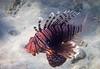 Common lionfish (Chalto!) Tags: africa braykabay egypt marsaalam northafrica redsea fish commonlionfish lionfish turkeyfish snorkel snorkeling snorkelling swimming underwater reef coral coralreef sea