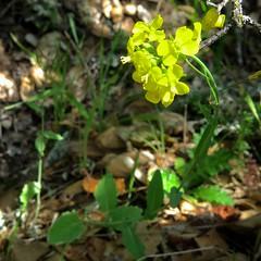 *Brassica rapa, TURNIP, FIELD MUSTARD (openspacer) Tags: brassica brassicaceae jasperridgebiologicalpreserve jrbp nonnative