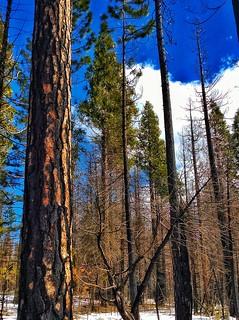 Tall Trees Near Yosemite