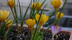 Crocus (jeanlouisallix) Tags: rouen seine maritime haute normandie france fleurs flowers crocus plantes jardinage jardin garden nature printemps fenêtre